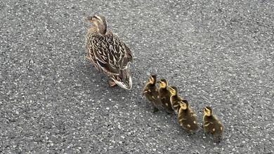 Entenfamilie auf der A 7