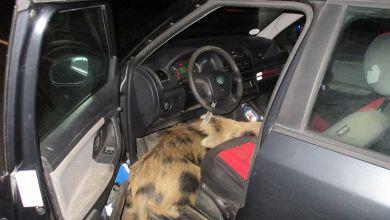 Wildschwein springt in Fußraum von Auto