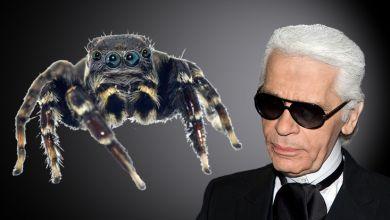 Spinne ähnelt Karl Lagerfeld