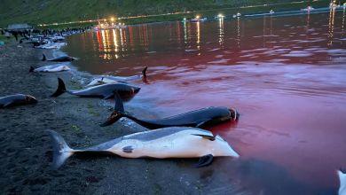 Delfinjagd auf den Färöer-Inseln
