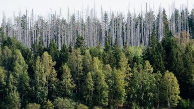 Vom Borkenkäfer zerstörte Fichten stehen im Nationalpark Harz.