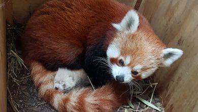 Erster Panda-Nachwuchs in Halle