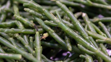Salicornia: blattloses würziges Gemüse