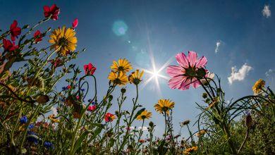 Sonne scheint vom blauen Himmel auf einen Blühstreifen an einem Feldrand