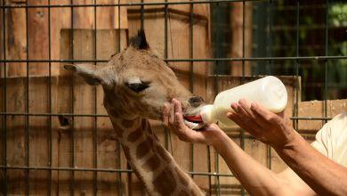 Fütterung Giraffenjunges