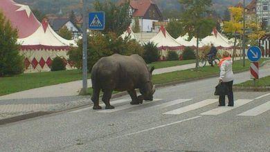 Nashorn in Blankenburg