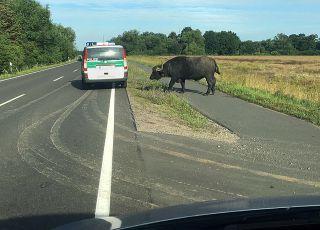 Wasserbüffel auf der Flucht