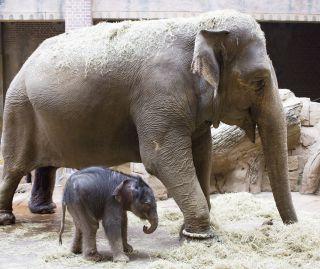 Elefantenkuh Hoa geht mit ihrem männlichen Elefantenkalb durch das Elefantenhaus.