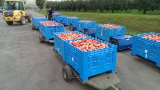 Volle Körbe bei der Apfelernte