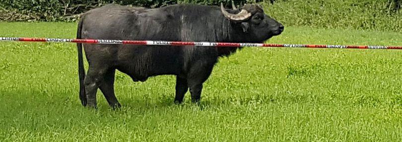 Umzingelter Wasserbüffel
