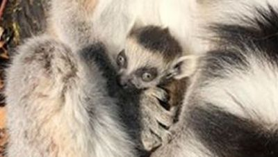 Erster Katta-Nachwuchs im Affenwald
