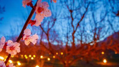 Anti-Frost-Kerzen in Aprikosenplantagen