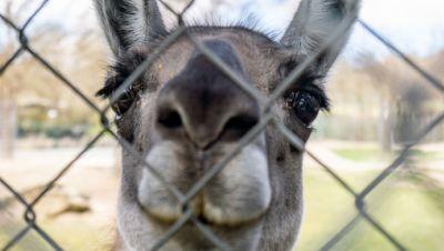 Lama schaut durch einen doppelten Maschendrahtzaun