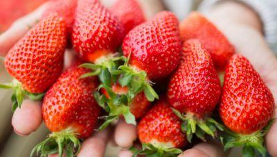 Erntehelferin hält frisch geerntete Erdbeeren in den Händen