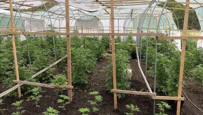 Hanfplantage ausgehoben