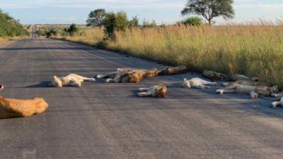 Löwen liegen auf einer Straße im Kruger Nationalpark