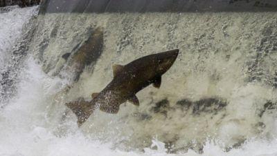 Symbolbild: Lachs versucht über einen Damm zu springen