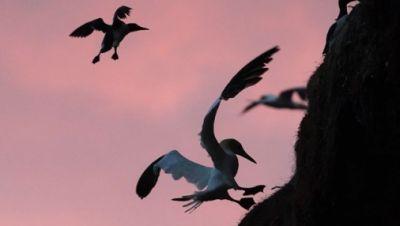 Der Lummensprung auf Helgoland