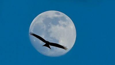 Ein Rotmilan kreist am Himmel mit dem zunehmenden Mond.