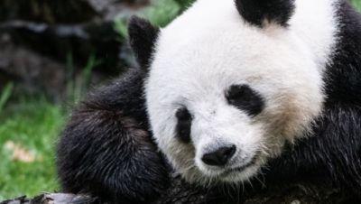 Panda Dame Meng Meng