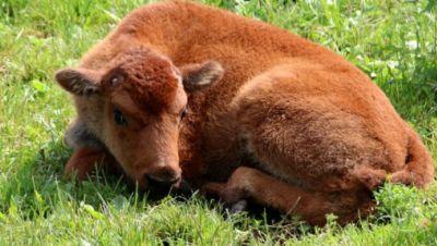 Bison-Kälbchen