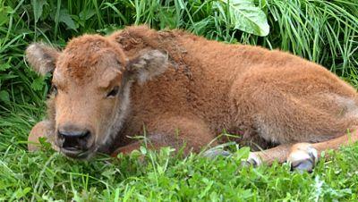 Bison Kälbchen