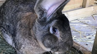 Längstes Kaninchen der Welt gestohlen