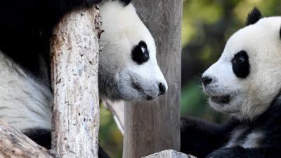 Panda-Zwillinge in Berlin