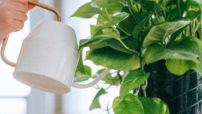 Efeutute/ Zimmerpflanze gießen