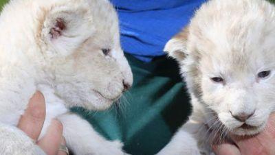 Weiße Löwenbabys